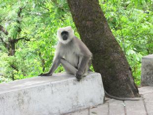 Apen zie je overal in Himachal Pradesh