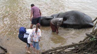 Olifanten wassen in de rivier